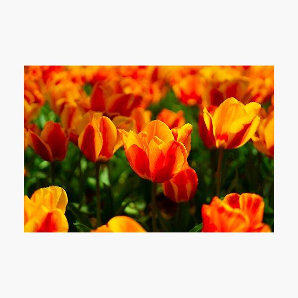 Fire Tulips of Washington DC Photographic Print