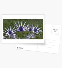 Cultivated Thistles Postcards