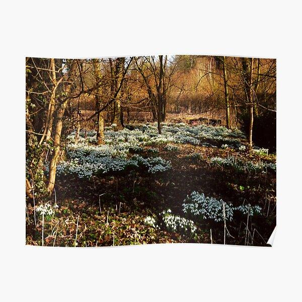 Snowdrops at Warnford, Hampshire, England Poster