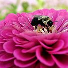Bumble Bee - Zinnia by T.J. Martin
