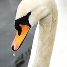 Swan close up by dbcarolinagirl
