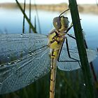 dew covered dragonfly by NaturalCultural
