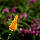 Dewy Poppy Bud by Lynda Anne Williams