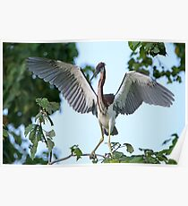 Tricolor Heron at Jefferson Island Poster