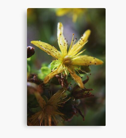 Yellow wild (from wild flowers collection) Canvas Print