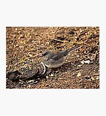 Slate Colored Junco Photographic Print