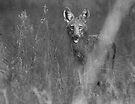 Coyote BW by Larry  Grayam