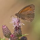 Meadow Brown by Minne