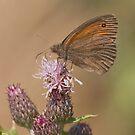 Meadow Brown by Minne