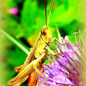 Grasshopper on common teasle by angel1