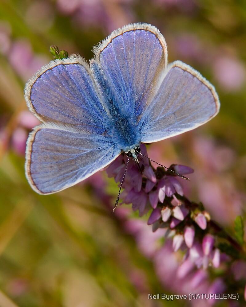 Male Common Blue by Neil Bygrave (NATURELENS)