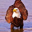 Bald Eagle Portrait by Kathy Baccari