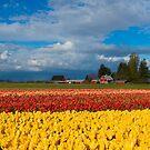 Red Barn Tulip Farm by DawsonImages
