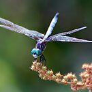 Blue Dasher by Gayle Dolinger