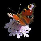 zauberhafter Schmetterling, Pfauenauge, Blume, Blüte, Sommer, Sonne von rhnaturestyles