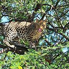Leopard in the tree by Seesee