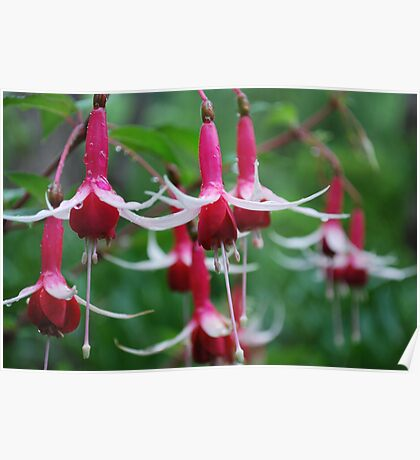 Fuchsia Poster