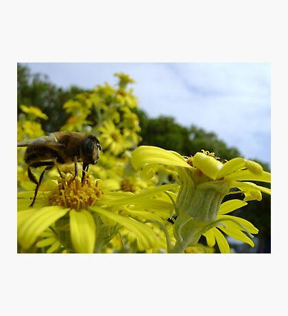 Bee's World - honeybee close-up, vista of flowers Photographic Print