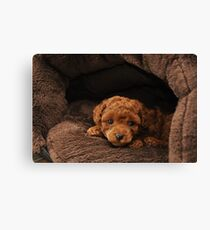 Red Teacup Poodle Puppy Canvas Print