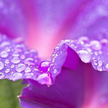 Dewy Pink Flowers. Water drops on pink. Marco bokeh by rolphenstien