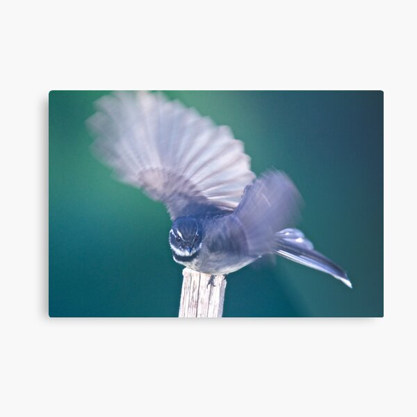 FANTAIL ~ Grey Fantail 5cSRCAfE by David Irwin ~ WO Metal Print