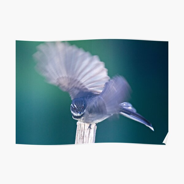 FANTAIL ~ Grey Fantail by David Irwin ~ WO Poster