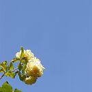 Yellow Roses - PDX by orangedana