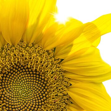 Large Bright Yellow Sunflower with Sunlight Filtering Through by CreativeBridge