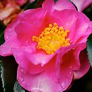 Camellia Close Up by Penny Smith