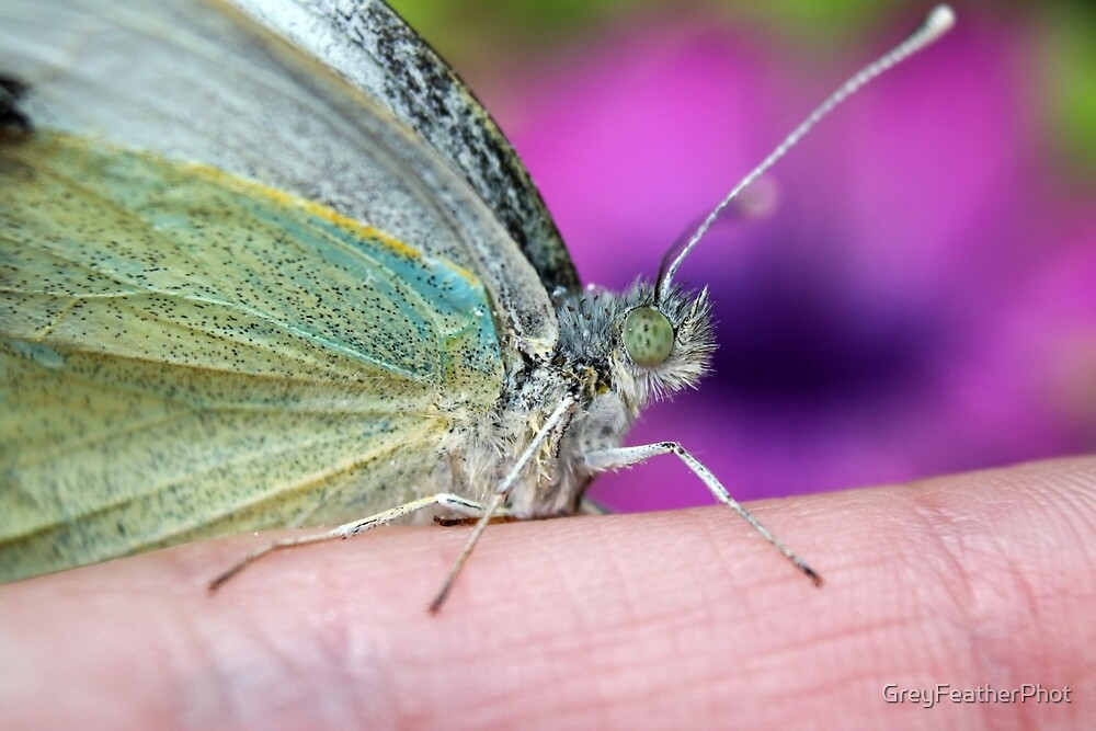 Tame butterfly by GreyFeatherPhot