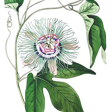 Passion Fruit Flower - Vintage Illustration by gifrancis