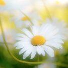 Daisy by Philippe Sainte-Laudy