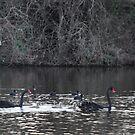 Two swans, three cygnets on Taree billabong by Graham Mewburn