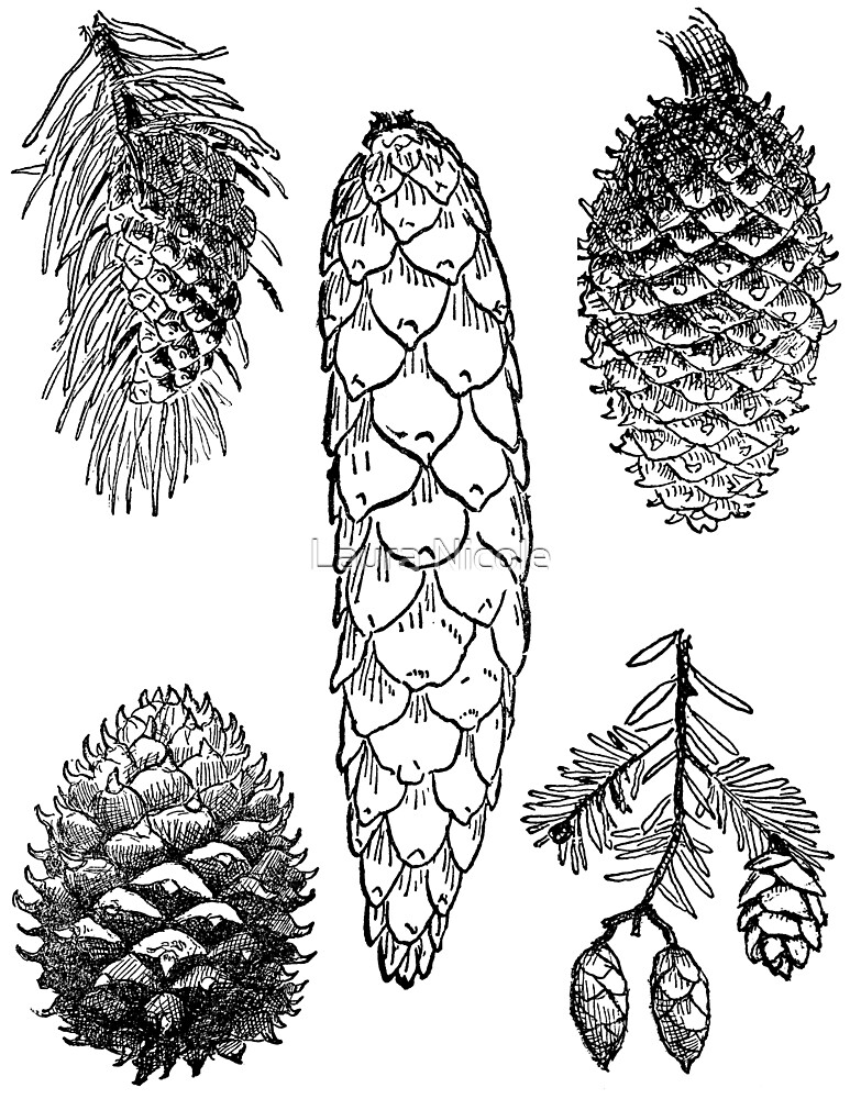 Pinecone Drawings by Laura Nicole
