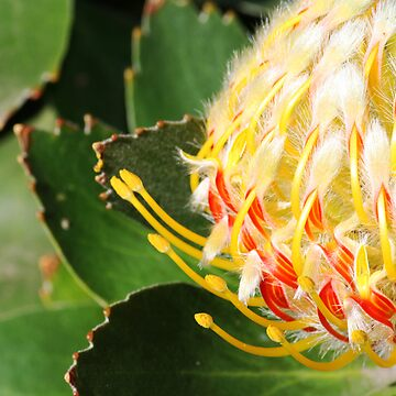 Protea by snappypixie