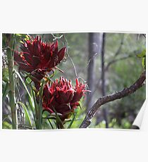 Gymea Lillies Poster