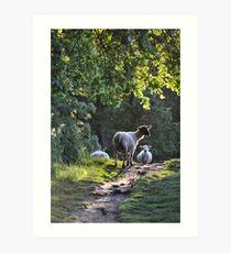 Cotswold Sheep  © Art Print