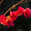 Branch of Japanese Flowering Quince  by Bev Pascoe