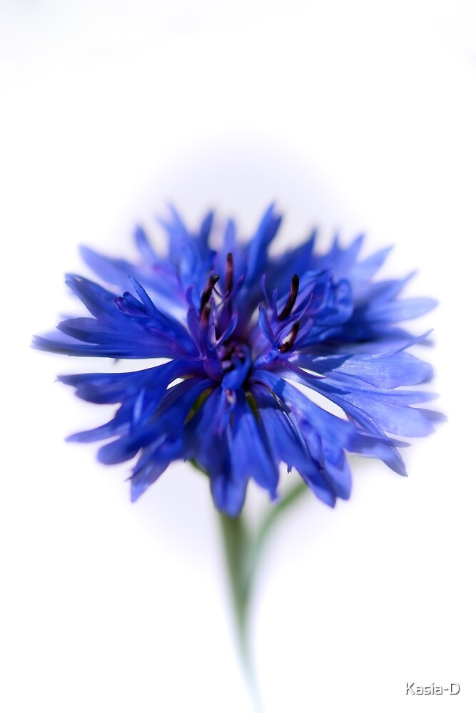 Blue Cornflower by Kasia-D