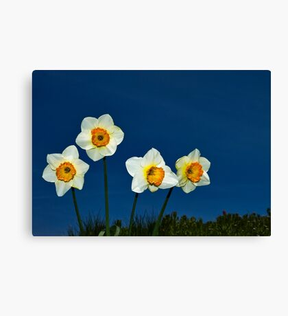 The Deadly Daffodils - Brighton - England Canvas Print