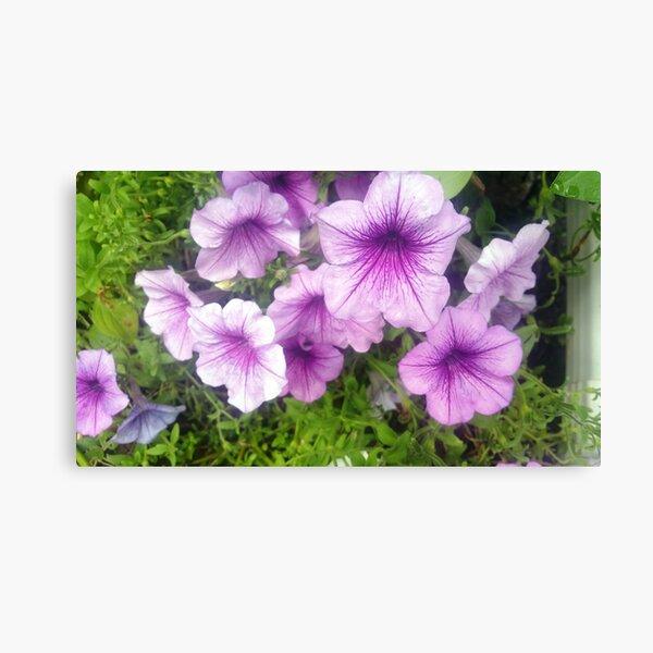 Lavender Petunias with Dark Purple Sunburst Centers Canvas Print