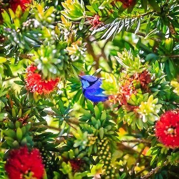Blue Wren in a Bottle Brush, Margaret River, Perth Western Australia by MADCAT