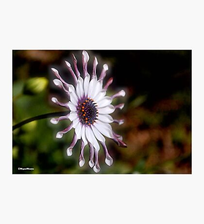 OSTEOSPERMUM – Purple African Daisy Photographic Print