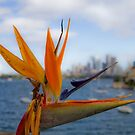 Bird of Paradise (Strelitzia) - Sydney Harbour - Australia by Bryan Freeman