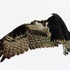 Flying Osprey by Larry  Grayam