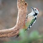 Middle Spotted Woodpecker by Dominika Aniola