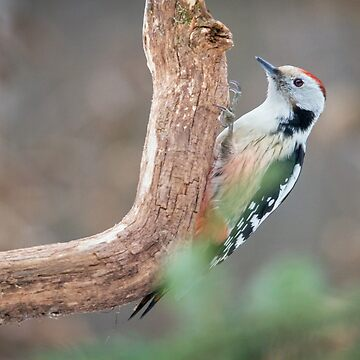 Middle Spotted Woodpecker by domcia