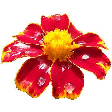 schöne rote Blume, Regentropfen, Blüte, Sommer, Sonne von rhnaturestyles