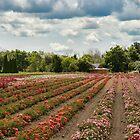 Midsummer Rose Dream by Marilyn Cornwell