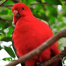 King Parrot by fatdade